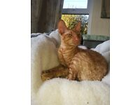 Cornish Rex Male kitten looking for forever loving home.