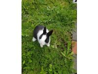 Rabbits for sale in Luton