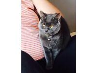British blue short hair kitten for sell