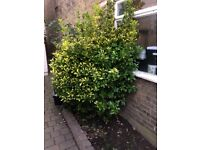 Euonymous shrub for sale