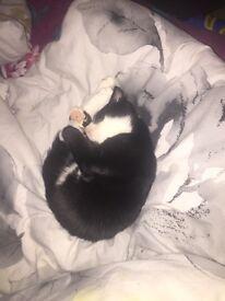 15/18 week old kitten