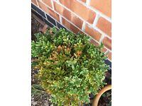 Buxus plant