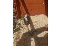 Single male baby guinea pig