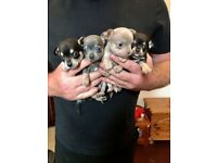 Chihuahua puppies ready in 2wks