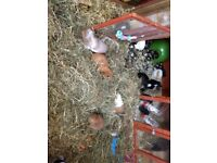 Female guinea pigs