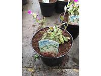 Alpine Plant - Arabis Spring Charm