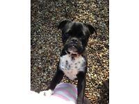 £500 Pugley boy for sale half pug half beagle
