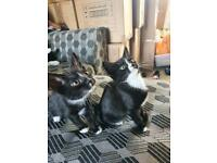 9 week old kittens **all sold now ***