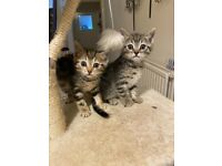 ** BOTH NOW SOLD** 2 male Bengal cross kittens