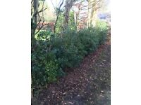 20+ Holly Bushes For Sale £150