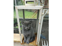 Beautiful kitten for sale ( gray)