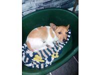Miniature Jack Russel pup