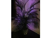 Indoor palm