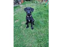 Labrador x Lurcher puppy