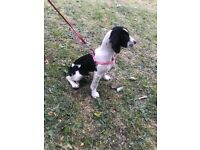 Benjiman beagle puppy