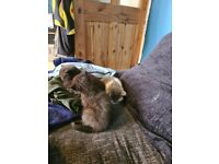 4 kittens for sale