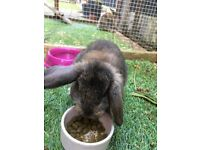 12 week old Dwarf French lop Rabbits - 1 male & 1 female for sale