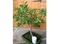 Bonsai Tree- Oak
