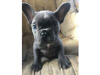 Stunning blue fawn black french Bulldog pups as seen by royals!