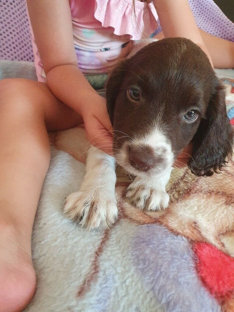 SPRINGER SPANIEL PUPPIES FOR SALE | in Ash, Hampshire | Gumtree