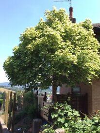 Tree Acer pseudoplatanus 'Brilliantissimum