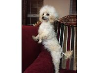 Gorgeous Female Poodle and a female chihuahua/ poodle adult