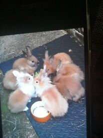 Lion head rabbits ready for their new home , I have 3 with blue eyes