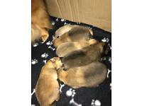 *** Pomeranian puppies ***