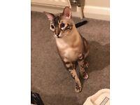 LOST CAT!! REWARD!!!