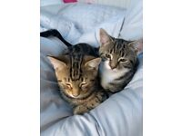 4 months kittens, 1 male 1 female £450 each