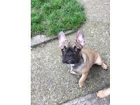 Last male French bulldog pup