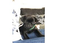 Gorgeous Male Pug Puppy