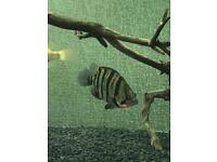 "4-5"" Tiger Datnoid Tropical Fish"