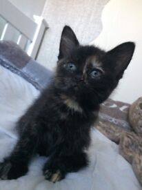 Kitten, wormed, flees and litter trained, 9 weeks