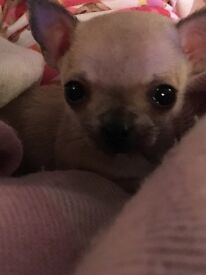 KC registered chihuhua puppy for sale