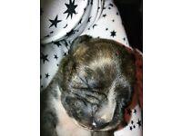 1 small indoor mini dachshund x boston terrier pup