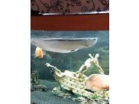 Sliver arowana approx 15 inches