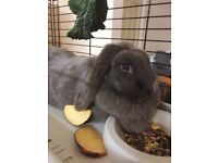 Lop earred bunny rabbit