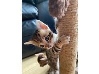 Beautiful Bengal Kittens - Tica Registered