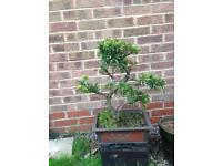 Yew or podocarpus Bonsai Tree