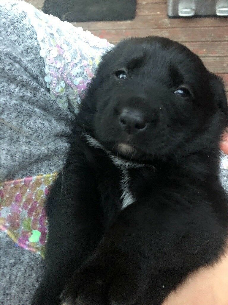 Puppies for sale Labrador x Newfoundland | in Crewe, Cheshire | Gumtree