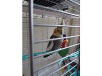 Cockatiel parrot(boy)