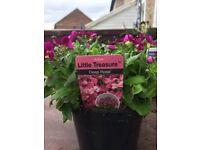 Perennial Arabis little treasure plants