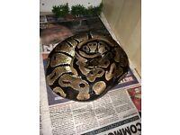 5ft royal python for sale