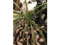 Spider Plant 2