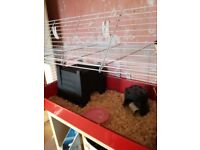 Guinea Pig with large Indoor Cage