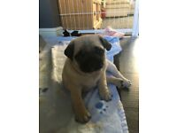 Kc registered pug puppies 1black bitch 1 thorn dog £900