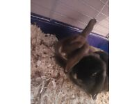 2 female pure mini lop bunnys