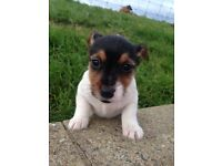 Three miniature Jack Russell pups for sale