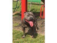 4 Staffordshire Bull terrier X American Bulldog Hybrid